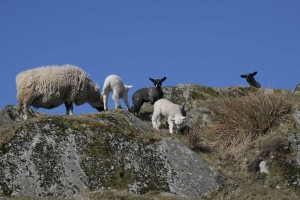 sheep and lambs 2eIMG_7303
